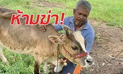 แปลกจริง! วัวแคระ 3 สี อายุเกือบ 5 ปีไม่ยอมโต มีลักษณะห้ามฆ่าตามความเชื่อ