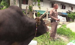 หนุ่มหัวใสขายยาบ้าแบบฟอกเงิน ซื้อวัวชนมาเก็บ เดือดร้อนไปถึงตำรวจ