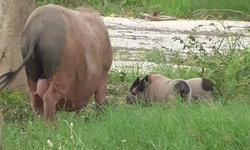 สุดน่ารัก แม่หมูป่าพาลูกหนีเที่ยว ซุกซนจนอดยิ้มไม่ได้(มีคลิป)