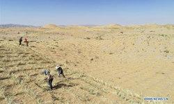 สู้ความแห้งแล้ง ชาวจีนปูฟางข้าว-หว่านเมล็ดหญ้า คุมทะเลทรายขยายตัว