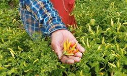 โคราชฝนทิ้งช่วง ทำเมล็ดพริกเหี่ยวลีบ ผลผลิตน้อย-รายได้หด