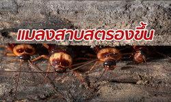 """""""แมลงสาบ"""" จะตายยากขึ้น! ผลวิจัยชี้ยาฆ่าแมลงก็ไม่สะทกสะท้าน"""
