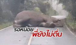"""รอหน่อยพี่นอนอยู่ """"เจ้างาทอง"""" ช้างป่านอนเคลิ้มขวางถนนขึ้นเขาเขียว"""