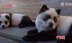 ชาวเน็ตจีนวิจารณ์ยับ คาเฟ่สุนัขจับเชาเชาเพนท์ลายเป็นลูกแพนด้า