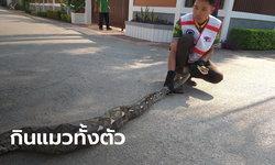 งูเหลือมยาว 3 เมตร หิวจัด เลื้อยเข้าบ้านคน กินแมวทั้งตัว อิ่มนอนขดอยู่ริมรั้วในบ้าน