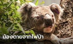 ประชากรโคอาลาในเขตนิวเซาท์เวลล์ กว่าร้อยละ 30 ตาย จากเหตุไฟป่าออสเตรเลีย