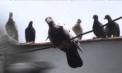 """กทม.เตือนห้ามให้อาหาร """"นกพิราบ"""" โทษสูงสุดจำคุก 3 เดือน"""