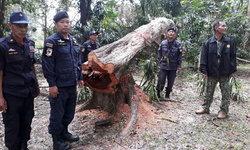 บุกจับ 3 คนร้ายอาวุธครบมือ-ลอบตัดไม้พะยูงกลางดึกในวัดภูทอก