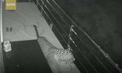 คลิประทึก เสือดาวบุกบ้านมนุษย์ งาบสุนัขเป็นอาหารมื้อดึก