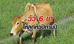 แปลกแต่จริง วัว 6 ขาให้โชค เจ้าของเหมาฝูงมาเลี้ยง ไม่คิดขายต่อใคร