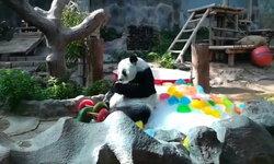 """17 ปีแล้วนะ! สวนสัตว์เชียงใหม่จัดงานวันเกิดให้แพนด้า """"หลินฮุ่ย"""" พร้อมเค้กน้ำแข็งสีสดใส"""