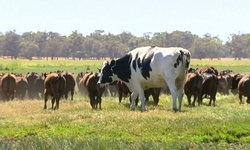 """ตะลึง """"วัวยักษ์"""" ที่ออสเตรเลีย น้ำหนักมากกว่ารถยนต์ สูงเกือบ 2 เมตร"""