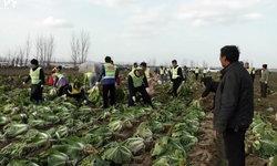 น้ำใจคนจีน เหล่าอาสาสมัครเก็บผักไปขาย ช่วยหญิงชาวสวน แม่ถูกรถชนเจ็บสาหัส