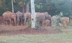 ช้างป่าโขลงใหญ่อาละวาด! บุกกินพืชไร่ชาวบ้าน เดือนร้อนพระสงฆ์ต้องหลบแต่ในกุฏิ