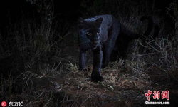 """""""เสือดำ"""" เคนยายังมีอยู่จริง กล้องสามารถจับภาพได้ในรอบ 110 ปี"""