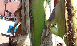 เจ้าของบ้านตื่นตา เจอปลีกล้วยทะลุออกมากลางลำต้น เล็งซื้อเลขเด็ดเลขที่บ้าน