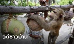 สั่งทูตพาณิชย์รีบแจง หลังต่างชาติแบนกะทิไทย ยันใช้ลิงเก็บมะพร้าวเป็นวิถีชาวบ้าน