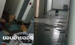 ยอมแล้ว เจ้าของสุนัขพิทบูล 7 ตัว ปล่อยเดินทั่วคอนโด ขอเวลา 3 วันย้ายออก