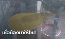 ยายทวดวัย 78 ปี ตกปลาแต่ได้ตะพาบสีทองเหลืองอร่าม คอหวยแห่ส่องหาเลขเด็ด