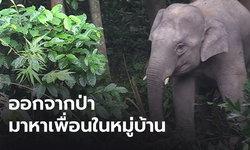 ติดเพื่อน...ช้างป่าบุกหมู่บ้าน มาหาช้างเลี้ยงเป็นเพื่อน