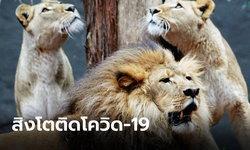 """ราชสีห์ก็ไม่รอด! สิงโต 4 ตัวในสวนสัตว์บาร์เซโลนาติด """"โควิด-19"""""""