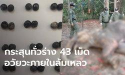 สุดยื้อชีวิตช้างป่ากุยบุรี รักษายาวนาน 30 วัน หมออึ้งผ่าซากเจอกระสุน 43 เม็ด