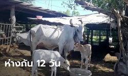 แม่วัวออกลูกแฝดประหลาด คลอดห่างกัน 12 วัน เชื่อมาให้โชคลาภ