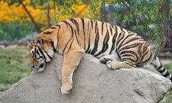 """สวนสัตว์สวีเดนการุณยฆาต """"เสือ"""" ป่วยโควิด-19 คาดติดจากมนุษย์"""