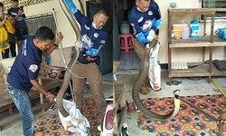 แห่มุง นาทีจับงูจงอางยาวกว่า 5 เมตร เลื้อยเข้าบ้าน เชื่องูเจ้าที่มาให้โชค