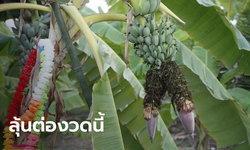 ฮือฮา กล้วยหิน 1 เครือ มี 2 ปลี งวดก่อนให้โชคเจ้าของสวนถูกหวย 2 ตัวตรงๆ