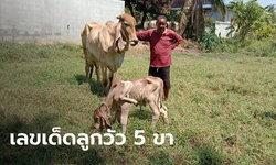 ฮือฮา แม่วัวออกลูก 5 ขา ชาวบ้านเชื่อจะนำโชคมาให้คนในหมู่บ้าน
