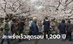 นักวิทย์ญี่ปุ่นตกใจ ดอกซากุระบานสะพรั่งเร็วสุดรอบ 1,200 ปี เชื่อผลภาวะโลกร้อน