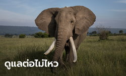 ซิมบับเว เตรียมอนุญาตล่าช้างป่า 500 ตัว หลังรายได้ท่องเที่ยววูบ จากพิษโควิด-19
