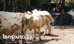 """วัวติดโรคระบาด """"ลัมปีสกิน"""" ล้มป่วยแล้วกว่า 60 ตัว เตรียมประกาศเขตภัยพิบัติกรณีฉุกเฉิน"""