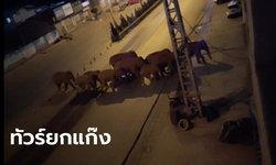 ไปไหนกัน? ช้างป่าโขลงใหญ่ 15 ตัว ออกจากป่าไกล 500 กม. มุ่งหน้าเข้าเมืองไม่ยอมหยุด