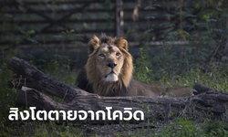 สิงโตตายในสวนสัตว์ที่อินเดีย คาดติดเชื้อโควิด-19 ตัวที่ยังเหลือติดเชื้อเพียบ