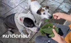 ฮือฮา หมาติดใบกระท่อม วันไหนไม่ได้กินจะหงุดหงิด เจ้าของฝากถามผู้รู้ มีผลเสียไหม