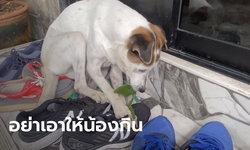 สัตวแพทย์เตือน ไม่ควรให้หมากินใบกระท่อม มีโอกาสได้รับพิษ จากการกินมากเกินไป