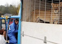 โจรขโมยรถโดยไม่รู้ตัวว่ามีสิงโตนอนหลับอยู่ด้านหลัง