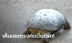 เลขเต่าเขาว่าแม่นนัก! เต่าตัวใหญ่เดินเข้าบ้านสาวราชบุรี เอาแป้งถูเห็นเลขตรงทะเบียนรถ