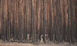 ทีมนักผจญเพลิงออสซี่ผจญไฟป่า รักษาต้นไม้เก่าแก่ยุคก่อนไดโนเสาร์ได้สำเร็จ
