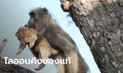 ไลอ้อนคิง? ลิงบาบูนหอบลูกสิงโตขึ้นต้นไม้ จนท.เผย 20 ปีไม่เคยเห็นแบบนี้ (คลิป)