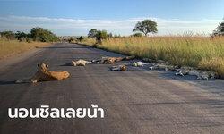 สิงโตออกจากป่านอนกลางวันบนถนน หลังแอฟริกาใต้ล็อกดาวน์ประเทศ