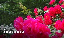 ญี่ปุ่น ตัดดอกกุหลาบทิ้งทั้งสวน ป้องกันคนออกมารวมตัวชมดอกไม้ ช่วงโควิด-19 ระบาด