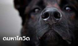 """อังกฤษเตรียมทดลองฝึก """"สุนัขดมกลิ่น"""" ช่วยตรวจหาโควิด-19"""