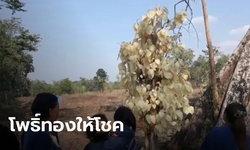 ชาวอุดรฯ ฮือฮา พบต้นโพธิ์ใบสีทองอร่าม พ่อเฒ่าเผย ชาวบ้านได้เลข 95 ถูกหวยกันถ้วนหน้า