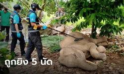 พบช้างป่ากุยบุรี ซูบผอมจนยืนไม่ไหว ช็อกซ้ำ ตรวจเจอรอยถูกยิง 5 นัด