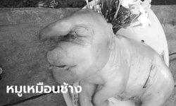 ฮือฮา ลูกหมูประหลาดถูกแม่นอนทับตาย คอหวยแห่ส่องเลขเด็ดลุ้นงวด 1 มิ.ย. 63