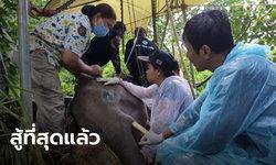 """สุดยื้อ """"น้องวังไทร"""" ช้างป่ากุยบุรี อาการดีขึ้นวันเดียว ก่อนทรุดหนักจนตาย"""