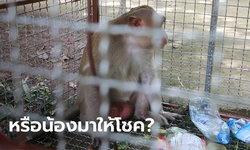 ไม่รู้ลิงหลงมาจากไหน พบตัวเลขอยู่แขนซ้าย 5 ตัว ชาวบ้านเชื่อนำโชคมาให้